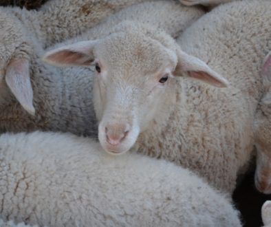 Lamb vs Hogget: What's the Difference?